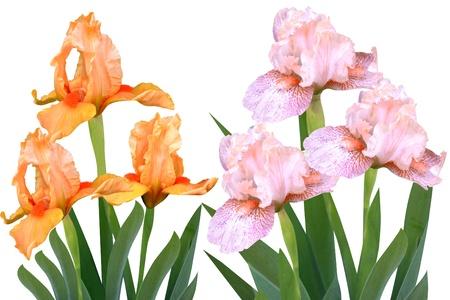 flowers irises  Stock Photo