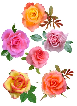 Roses flowers it is isolated a holiday  Archivio Fotografico
