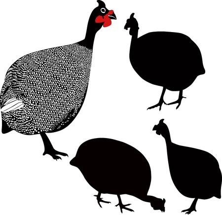 fowl: guinea fowl birds