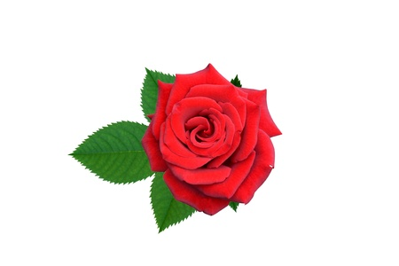 Roses flowers it is isolated a holiday  Stock Photo - 14450608