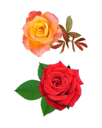 Roses flowers it is isolated a holiday  Stock Photo - 14450611