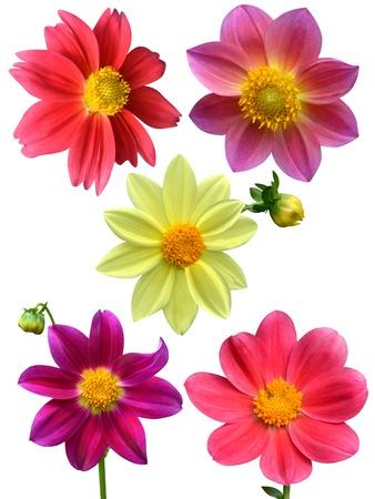 Dahlia flowers isolated on white background photo