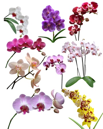 Orchids flowers it is isolated photo