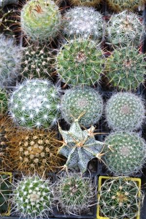 prickle: Cactuses flowers botanical garden prickle nature