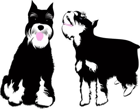 dog ears: Zwergschnauzer dog vector isolated on white background Illustration