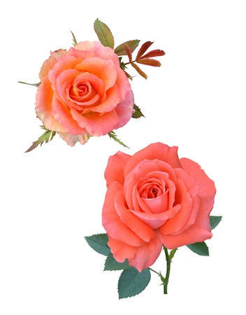 Roses flowers it is isolated a holiday  Stock Photo