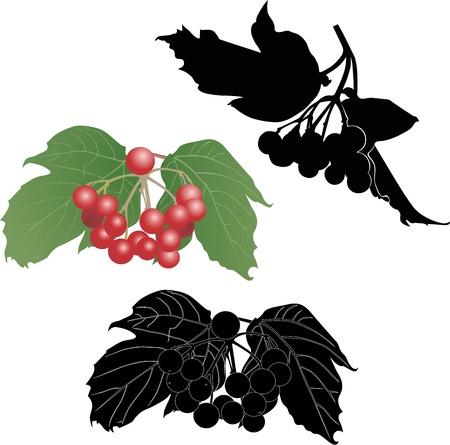 Rowan branch bush viburnum berries Stock Vector - 15334103