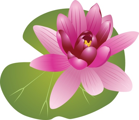 Lily of the Lotus of the water Lily Stock Vector - 16243228