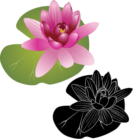 Lily of the Lotus of the water Lily Stock Vector - 16243233