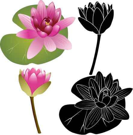 Lily of the Lotus of the water Lily Stock Vector - 16297876