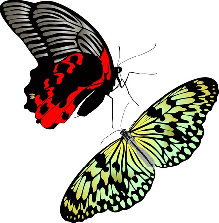 butterfly insects idea leuconoe pachliopta aristolochiae Vector