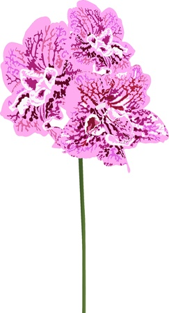 Orchids flowers it is isolated a holiday  Vector