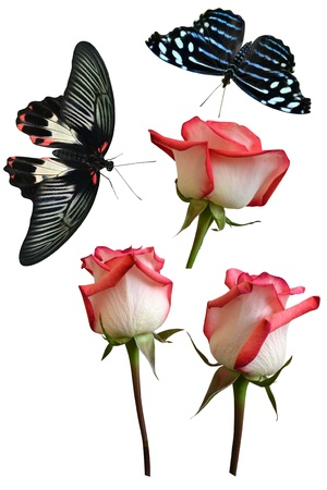 Roses flowers it is isolated a holiday butterfly insects pachliopta aristolochiae photo