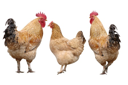 cocks and poultry chicken isolated on white background Stock Photo - 17514353