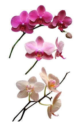orchid branch: Orchids flowers it is isolated