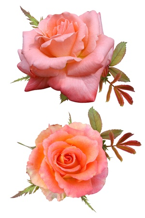 Roses flowers it is isolated a holiday  Stock Photo - 17848751