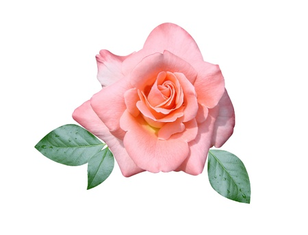 Roses flowers it is isolated a holiday  Stock Photo - 17848771