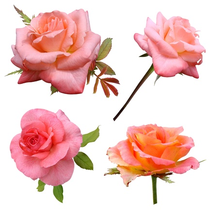 isolated roses: Roses flowers it is isolated a holiday  Stock Photo