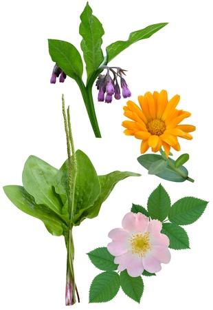 plantain: Medicinal plants and flowers calendula plantain Briar Stock Photo