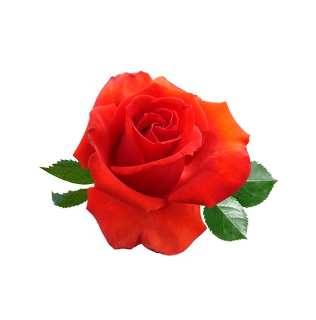 Roses flowers it is isolated a holiday Stock Photo - 18014233