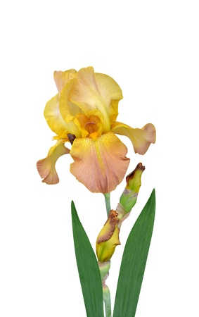 irises flowers it is isolated a holiday Stock Photo - 18132527