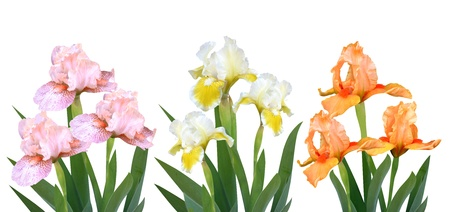 irises flowers it is isolated a holiday Stock Photo - 18239182