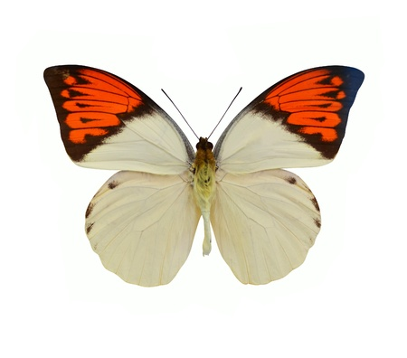 butterfly tail: butterfly isolated on white background Stock Photo