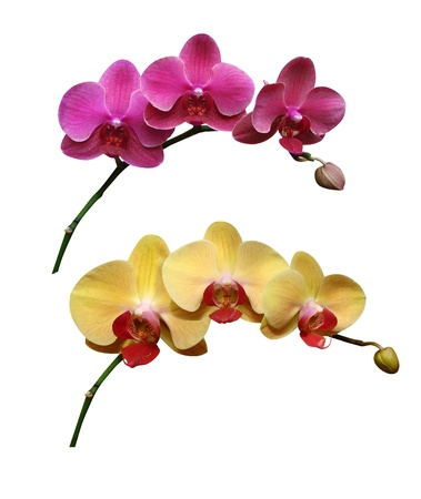 Orchids flowers it is isolated Stock Photo - 18519518