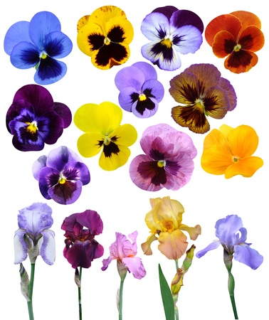 irises violet flowers it is isolated a holiday collection Archivio Fotografico