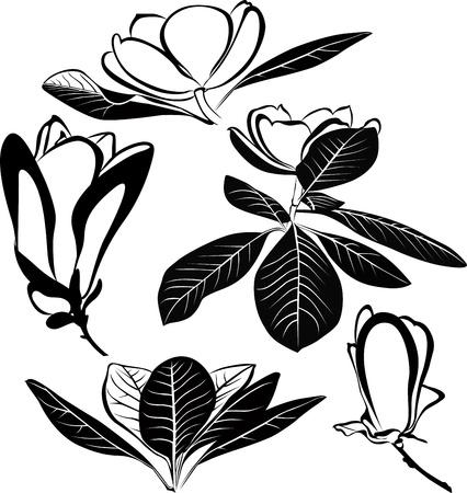 flores de magnolia aislados sobre fondo blanco
