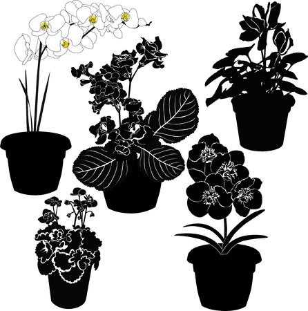 cyclamen: indoor potted flowers