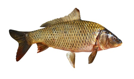 insipid: carp fish isolated on a white background