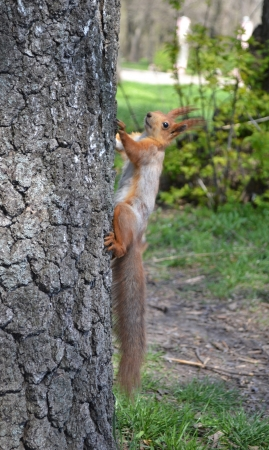 Red squirrel sitting on the tree Stock Photo - 19261089