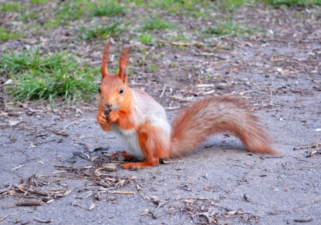 Red squirrel small woodland little animal Stock Photo - 19338956