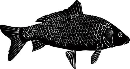 crucian carp: carp fish isolated on a white background