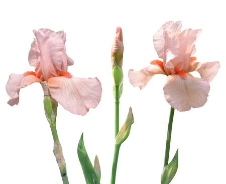 irises flowers isolated on white background Stock Photo - 19624654