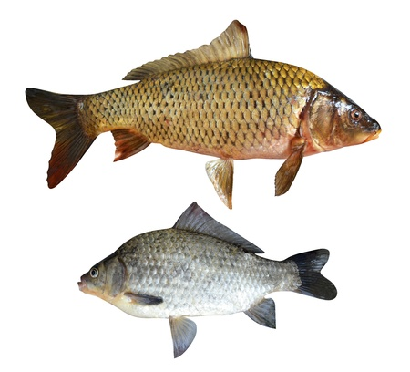 carp fish isolated on a white background Stock Photo - 19624638