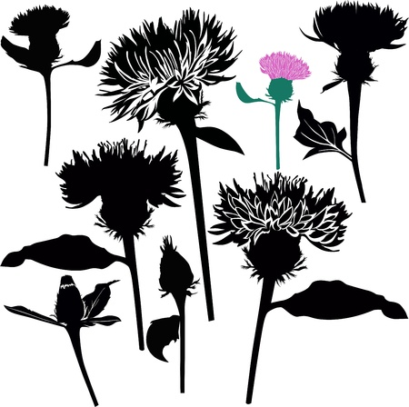 ostrożeń: Kwiaty ostropestu ostu na białym tle