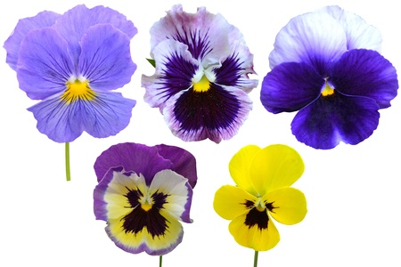 pansies Violets flowers it is isolated on a white background
