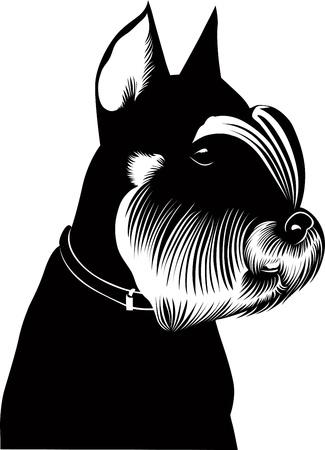miniature breed: aislado miniatura schnauzer puppy dog ??vector Vectores