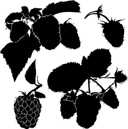 berry raspberry bush twig vector isolated Vector