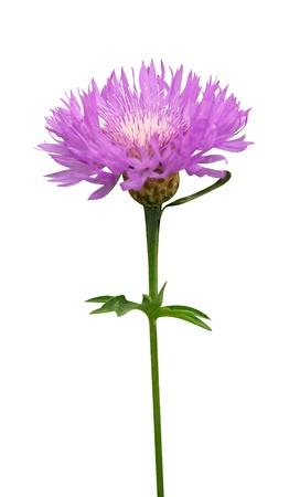 medical  plant: flores de cardo planta medicinal Cirsium aislado en un fondo blanco Foto de archivo