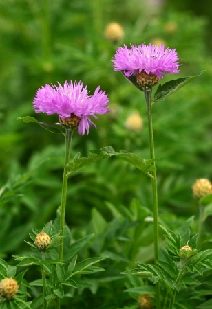 flowers Milk thistle Cirsium medical plant photo