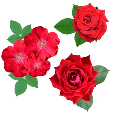 roses flowers it is isolated a holiday photo
