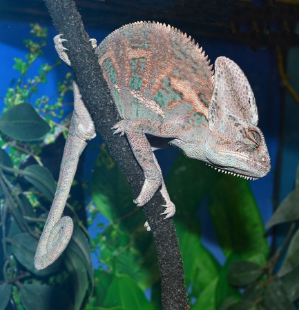 veiled: animal chameleon sitting on a tree branch