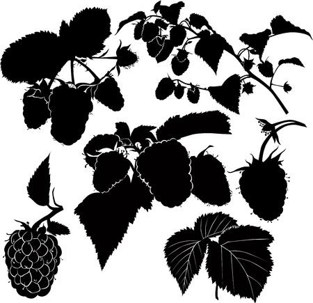 berry raspberry bush twig isolated Vector