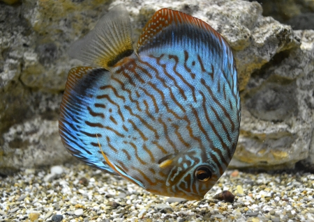 Discus for aquarium saltwater fish photo