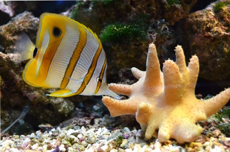 marine for aquarium fish Chelmon rostratus Coperband butterfly photo