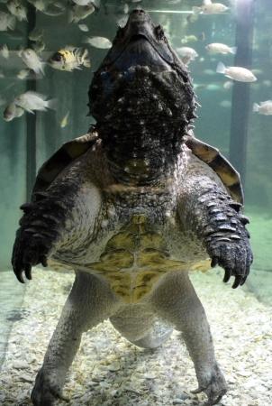 loggerhead turtle photo