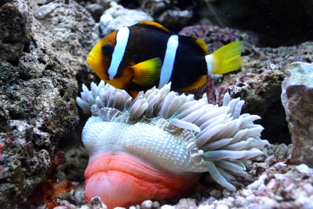 amphiprion bicinctus: nemo fish and sea anemone